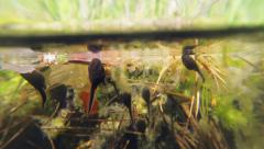 Water surface and tadpoles Stock Footage