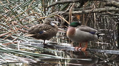 Male and female Mallard wild ducks standing  in a pond Stock Footage