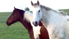 Irish Horses Stock Footage