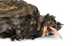 Close-up of a dead Common Starling in state of decomposition, Sturnus vulgaris,  Stock Photos