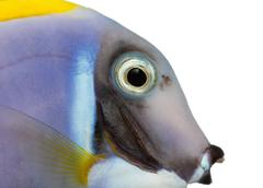 Close-up of a Powder blue tang profile, Acanthurus leucosternon, isolated on whi - stock photo