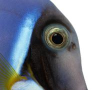 Close-up of a Powder blue tang's head, Acanthurus leucosternon, isolated on whit - stock photo