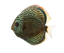 Side view of a Blue snakeskin discus, Symphysodon aequifasciatus, isolated on wh - stock photo