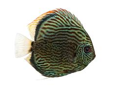 Side view of a Blue snakeskin discus, Symphysodon aequifasciatus, isolated on wh Stock Photos