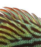 Close-up of a Blue snakeskin discus' dorsal fin, Symphysodon aequifasciatus, iso - stock photo