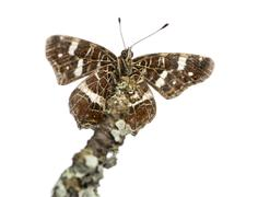 Map butterfly on a branch viewed from below, Araschnia levana, isolated on white Kuvituskuvat