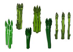 Green asparagus veggies with fleshy spears - stock illustration