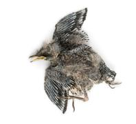 Dead baby Swallow in state of decomposition, Hirundinidae, isolated on white - stock photo