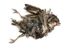 Dead roadkill House Sparrow in state of decomposition, Passer domesticus, isolat - stock photo