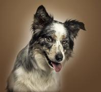 Close-up of a Border collie panting, with provocative look, on a brown gradient  - stock photo