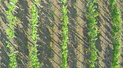 AERIAL VIEW of flight over a vineyard. Flying over rural landscape vineyards Stock Footage