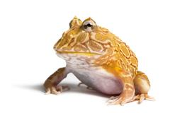 Argentine Horned Frog, Ceratophrys ornata, isolated on white - stock photo