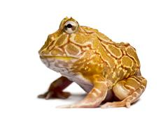 Side view of an Argentine Horned Frog, Ceratophrys ornata, isolated on white - stock photo