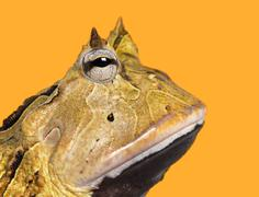 Close-up of an Argentine Horned Frog's profile, Ceratophrys ornata, on a yellow  Stock Photos