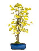 Ginkgo bonsai tree, isolated on white - stock photo