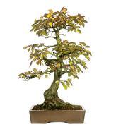 Korean Hornbeam bonsai tree, Carpinus turczaninowii, isolated on white - stock photo
