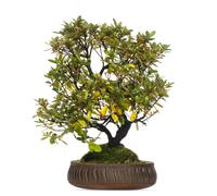 Rhododendron bonsai tree, isolated on white - stock photo
