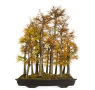 Golden larch bonsai tree, Pseudolarix amabilis, isolated on white - stock photo