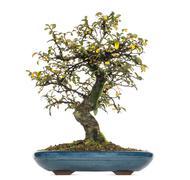 Cotoneaster dammeri bonsai tree, isolated on white - stock photo