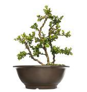 Buxus bonsai tree, isolated on white - stock photo