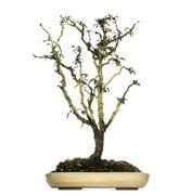 Japanese Cherry bonsai tree, Prunus serrulata, isolated on white - stock photo