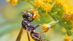 Wasp On Flowers Stock Footage