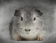 Front view of a Swiss Teddy Guinea Pig facing, looking at the camera, on grey ba Stock Photos