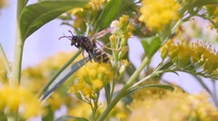 Wasp On Flowers macro Stock Footage