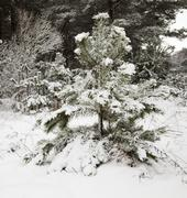 Stock Photo of fir-tree in the winter