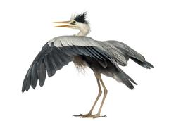 Rear view of an Grey Heron flapping its wings, Ardea Cinerea, 5 years old, isola Stock Photos
