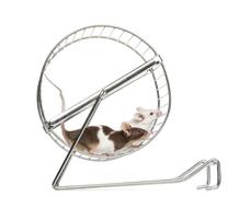 Side view of Common house mice playing in a wheel, Mus musculus, isolated on whi - stock photo