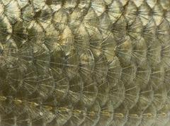 Macro of a Common roach skin, Rutilus rutilus, isolated on white Kuvituskuvat