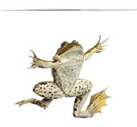 Edible Frog viewed from below swimming up, under water line, Pelophylax kl. escu Stock Photos