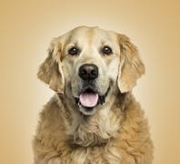 Close-up of a Golden retriever panting, on beige background Stock Photos