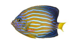 Side view of a Northern Angelfish, Chaetodontoplus septentrionalis, isolated on  - stock photo