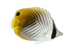Side view of a Threadfin Butterflyfish, Chaetodon auriga, isolated on white - stock photo