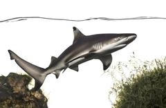 Blacktip reef shark swimming under water line, among plants, Carcharhinus melano - stock photo