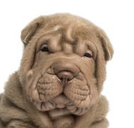 Close-up of a Shar Pei puppy looking at the camera, isolated on white - stock photo
