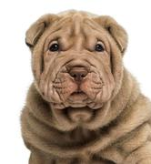 Close-up of a Shar Pei puppy, isolated on white - stock photo