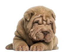 Front view of a Shar Pei puppy lying down, tired, isolated on white - stock photo