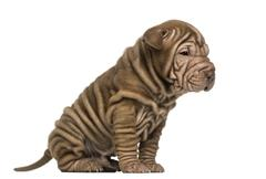 Side view of a Shar Pei puppy sitting, isolated on white - stock photo