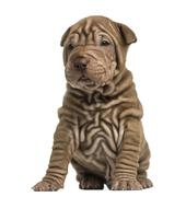 Shar Pei puppy sititng, isolated on white - stock photo
