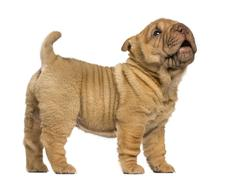 Side view of a Shar Pei puppy standing, barking, isolated on white - stock photo
