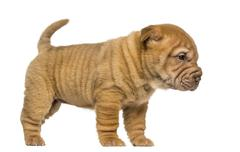 Side view of a Shar Pei puppy standing, isolated on white - stock photo