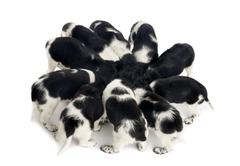 View from up high of Stabyhoun puppies eating together, isolated on white - stock photo