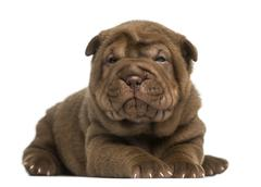 Shar Pei puppy lying down, looking at the camera, isolated on white - stock photo