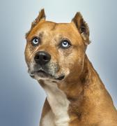 Close-up of an American Staffordshire Terrier, looking up, on blue background Stock Photos