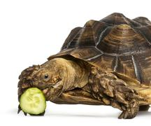 Close-up of an African Spurred Tortoise eating a bit of cucumber, Geochelone sul Stock Photos