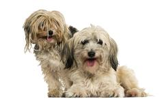 Shih tzu and Yorkshire terrier panting, isolated on white Stock Photos