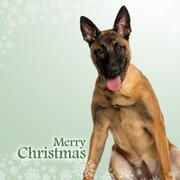 Belgian Shepherd Dog puppy panting, on a christmas background Stock Photos